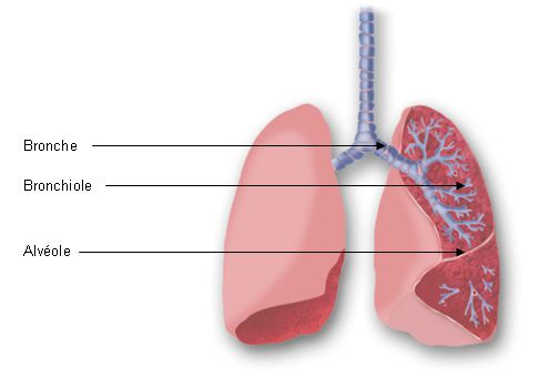 The bronchi divide into bronchioles and end in pulmonary alveoli. © GSK