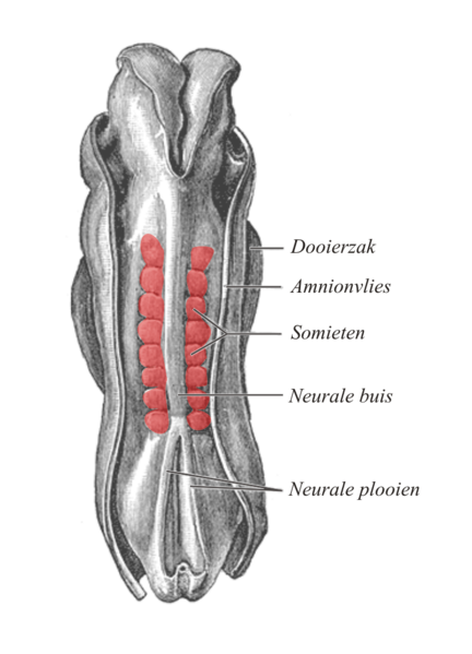 Dorsal view of an embryo. The somites, shown in red, are aligned along the neural tube. © Gray''s Anatomy, Wikimedia public domain