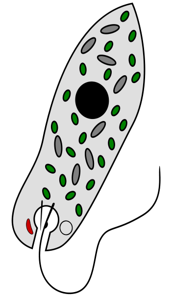 Diagram showing a euglenophyte able to absorb (heterotrophism) and photosynthesise (autotrophism) through its chloroplasts, shown in green on the diagram. © Shazz CC by-sa