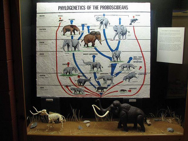 The phylogenetic tree of the Proboscidea, the order of elephants. © hairymuseummatt CC by-sa 2.0