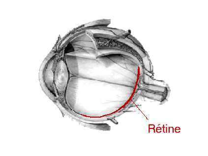 Diagram of the retina. (Credits: www.ophtalmologie-paris.org)