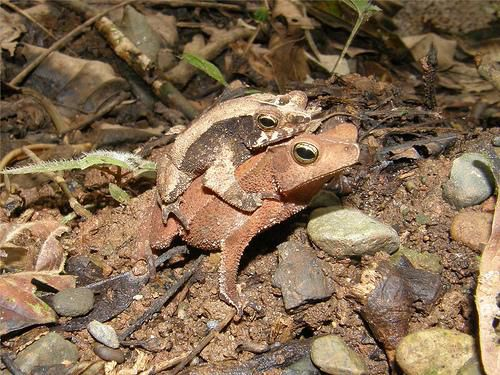 A couple of toads in amplexus: the male (smaller) grips the female from behind. © bgv23 CC by