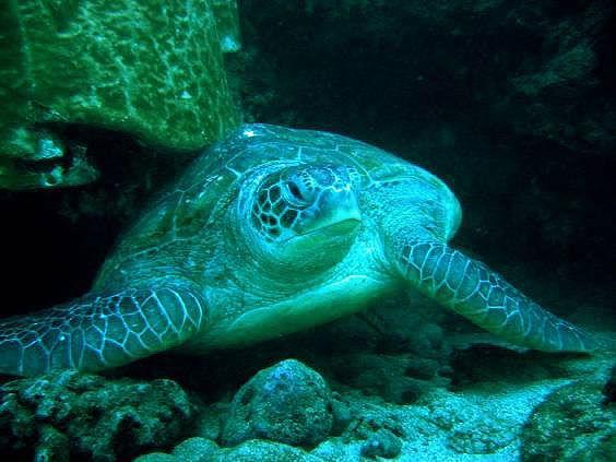 Green sea turtle. Photo credits: Stéphane Ciccione / Kélonia