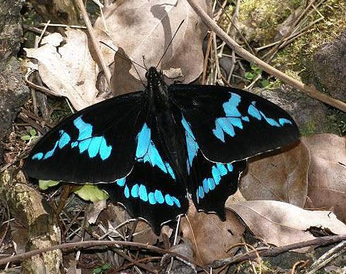 Papilio phorbanta. © Dominique Martiré