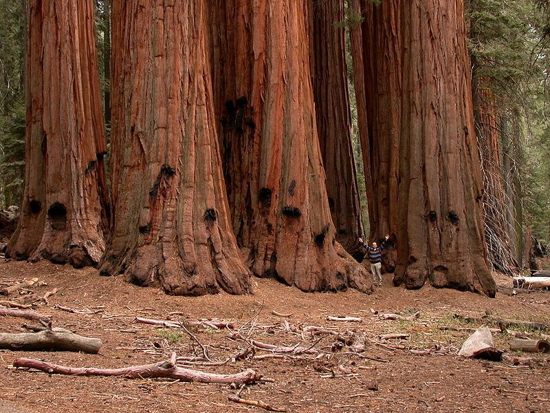 Sequoias are the giants of the temperate forest, shown here in the National Sequoia Park in California. © Paul Rudenko, public domain