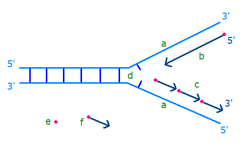 Diagram of a replication fork. The new strands are shown in dark blue. The primers are shown in pink and the arrows on the lower strand show the Okazaki fragments. © Gluon, Wikimedia CC by-nc-sa 3.0
