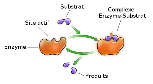 The active site of an enzyme is where the enzyme reaction takes place. © YassineMrabet, Wikimedia, CC by-sa 2.5