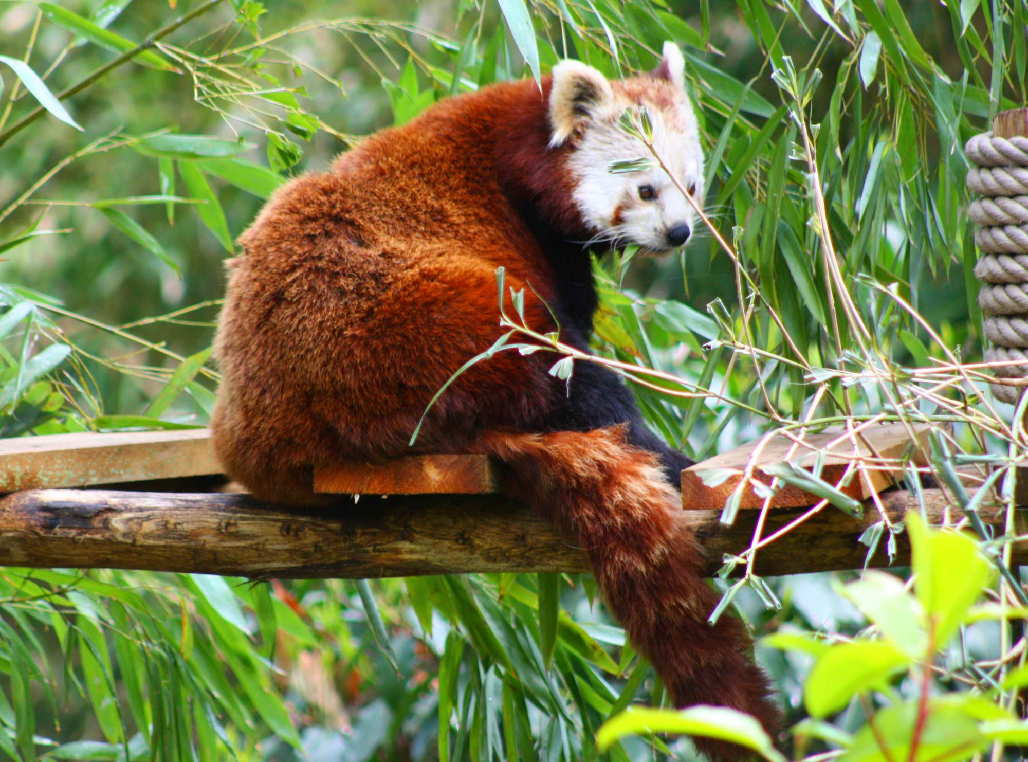 Photo of a red panda, also called the lesser panda. © Patrick Straub