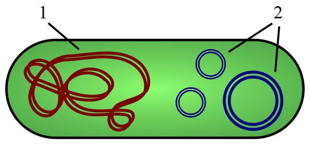 Plasmids (in blue) are circular pieces of DNA, which are dissociated from the chromosome (in red). © Spaully, Wikimedia, CC by-sa 2.5