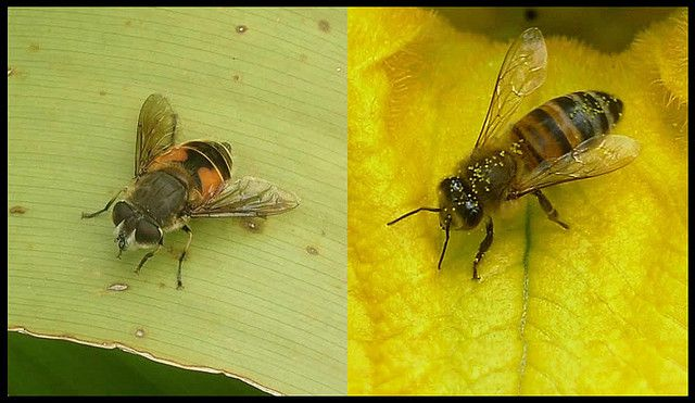 An example of Batesian mimicry: the hoverfly (Diptera) on the left adopts the same colouring as the bee, on the right. It thus takes advantage of the fear inspired by the bee's sting, without having one itself. © Edwin Bellota CC by-nc-sa 2.0