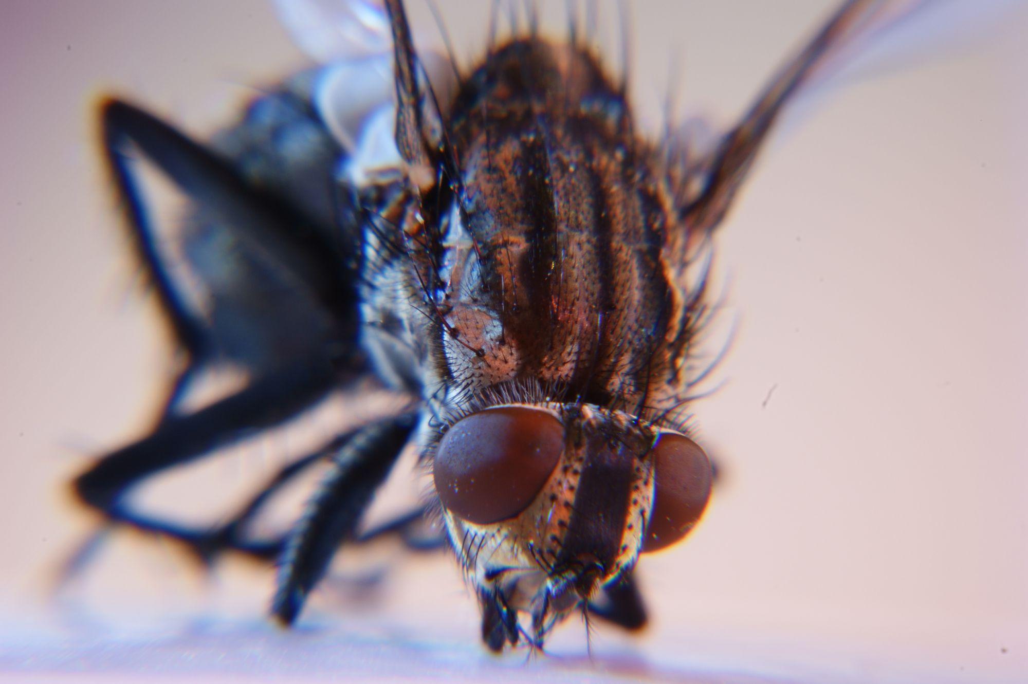 Flies are members of Diptera. © DR