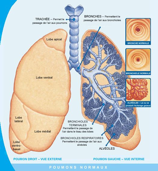The lungs are part of the respiratory system. The lungs are composed of bronchioles and alveoli and are responsible for gas exchange between the body and outside air. © www.cfeducation.ca