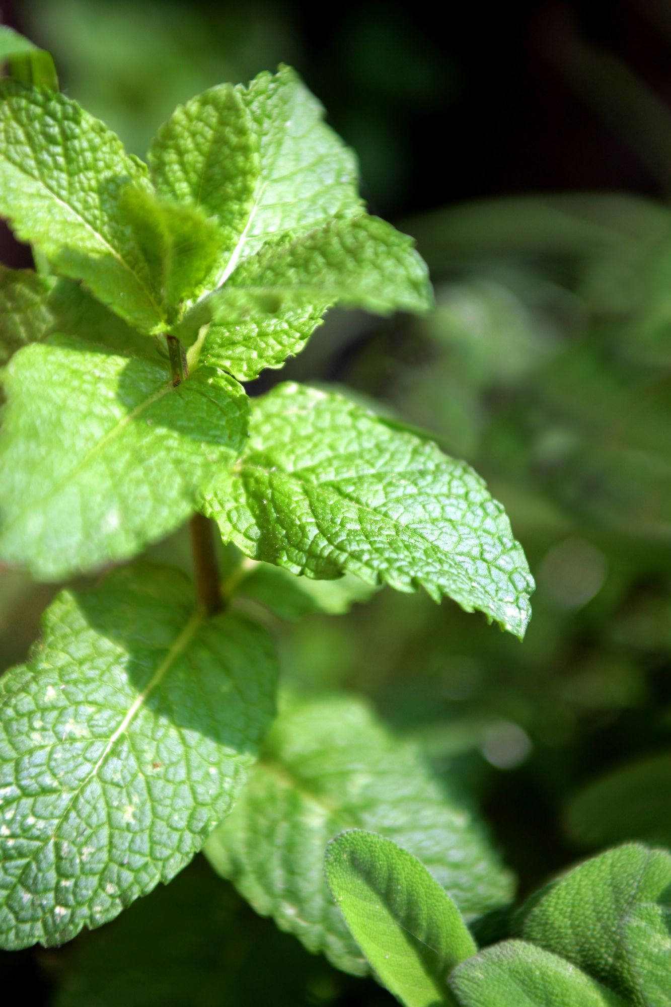 Mint, a plant which grows everywhere.  © Phovoir