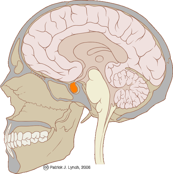The pituitary gland is an endocrine gland that controls various biological functions. The pituitary gland is located in the middle of the brain and is closely connected to the hypothalamus. © Patrick J. Lynch / Licence Creative Commons