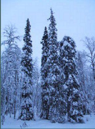 Columnar spruce. © DR