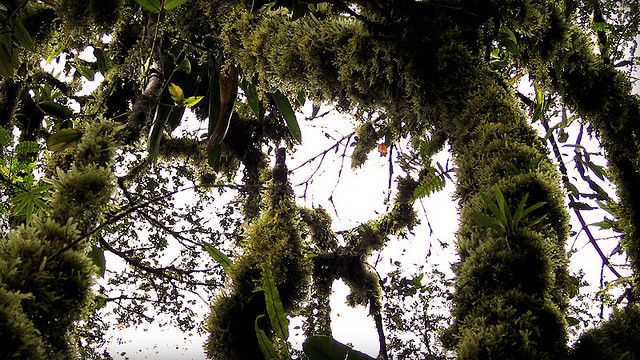 The rich variety of moss and epiphyte ferns testifies to the ombrophile nature of this tropical forest in Costa Rica. © Dimitri dF CC by-nc-nd 2.0s