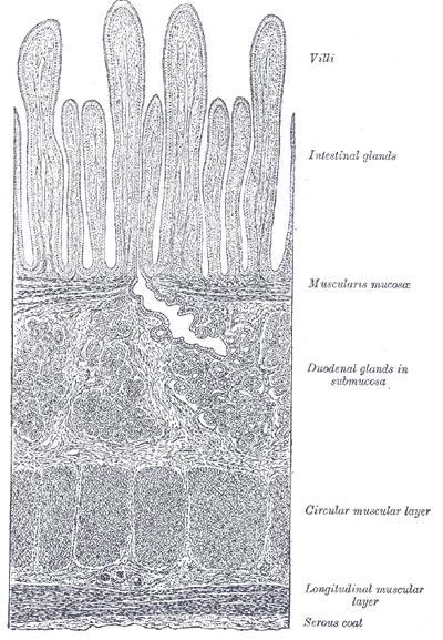 The intestinal villi, which are parallel and vertical, are seen between the light (white, above) and different cell layers of the intestinal wall. DR Credits.