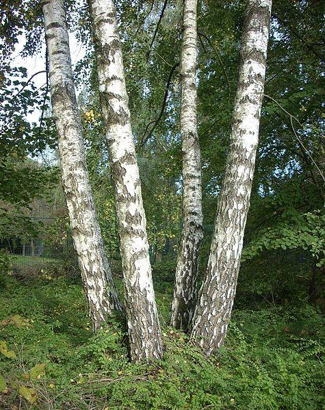 Silver birch. © Public domain