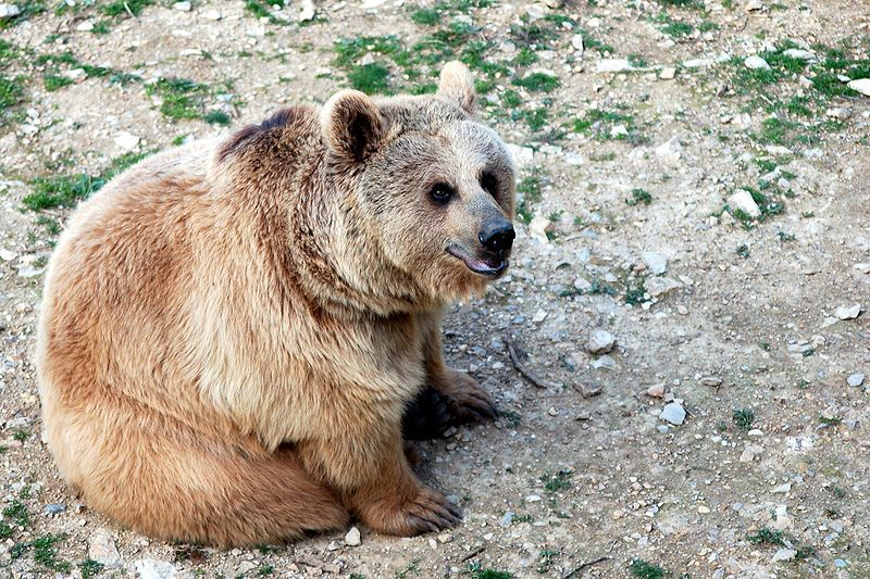 Photo of a Syrian brown bear. © VonFassen, GNU Free Documentation License, version 1.2