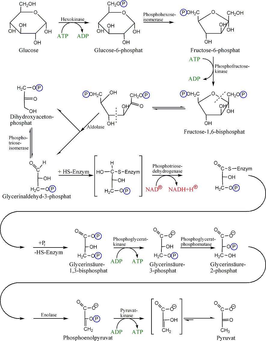 Glycolysis is a complex catabolic pathway.  © Morglin, Wikimedia, public domain