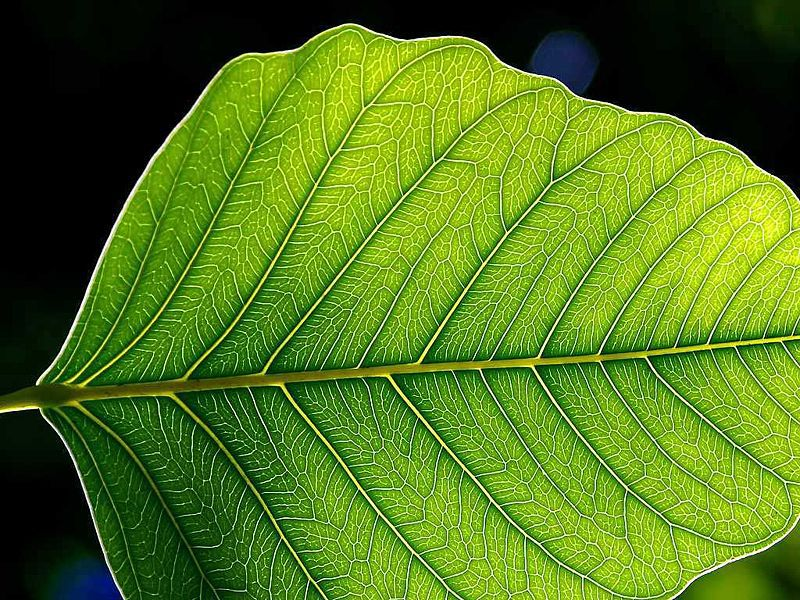 Photosynthesis is a mechanism specific to green plants. © Jon Sullivan, Wikimedia public domain