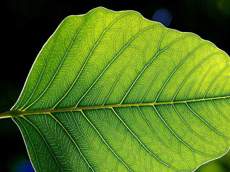 Photosynthesis is a mechanism specific to green plants. © Jon Sullivan, Wikimedia public domain