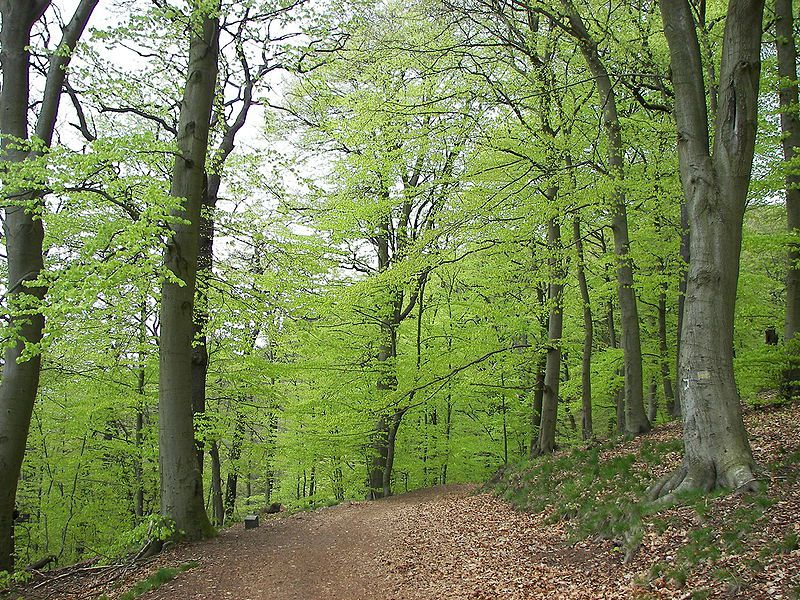 A forest of common beech. © Nikanos licence Creative Commons Attribution - Share Alike 2.5 generic