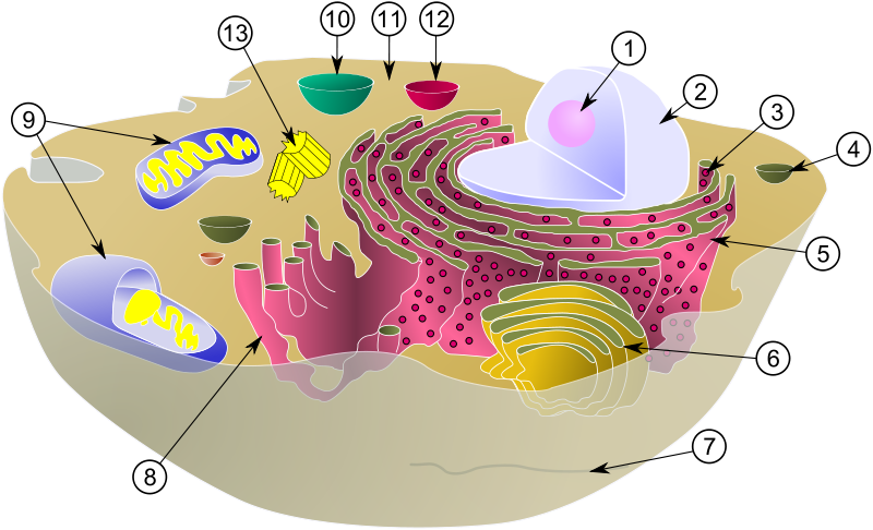 Diagram of a typical animal cell with its organelles: 1. Nucleolus; 2. Nucleus; 3. Ribosome;  4. Vesicle; 5. Rough (or granular) endoplasmic reticulum   also called the ergastoplasm; 6. Golgi apparatus; 7. Cytoskeleton ; 8. Smooth endoplasmic reticulum ; 9. Mitochondrium ; 10. Vacuole ; 11. Cytosol ; 12. Lysosome ; 13. Centriole. © MesserWoland et Szczepan1990, Wikimedia, CC by-sa 3.0
