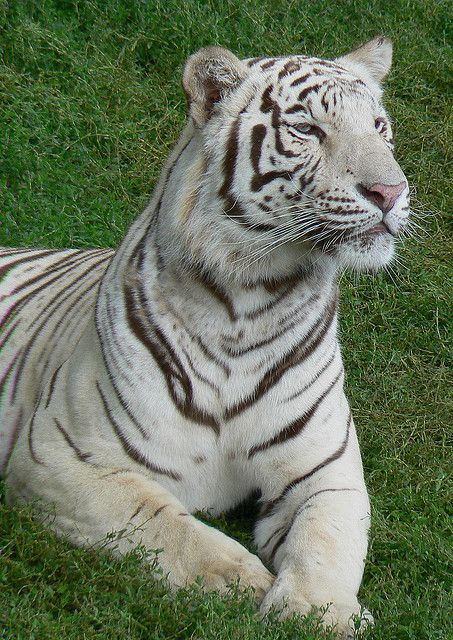 The large number of albino tigers in zoos is a result of forced endogamy between animals in captivity. © Eddy Van 3000 CC by-sa 2.0