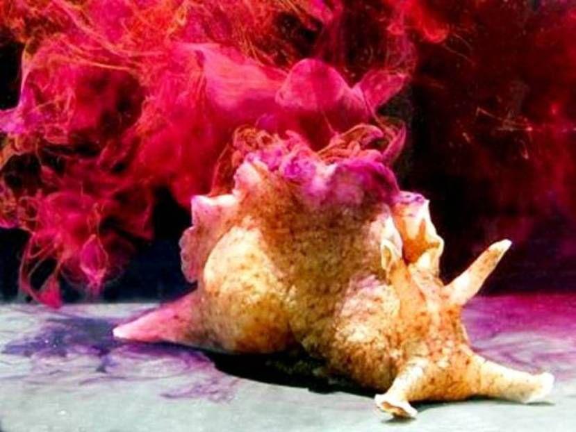 Sea hare © Genny Anderson