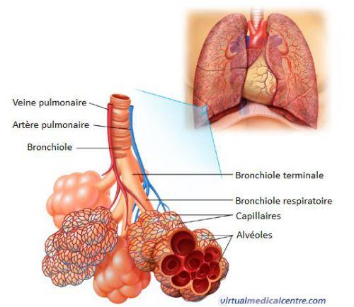 definition pulmonary alveolus. Black Bedroom Furniture Sets. Home Design Ideas