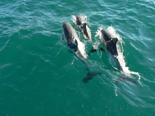 Cetaceans form pods when they gather together © amateur_photo_bore, Flickr, cc by nc nd 2.0