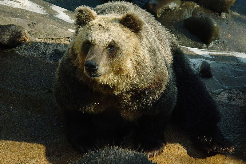 Photo of an Ussuri brown bear. © Ozizo, public domain