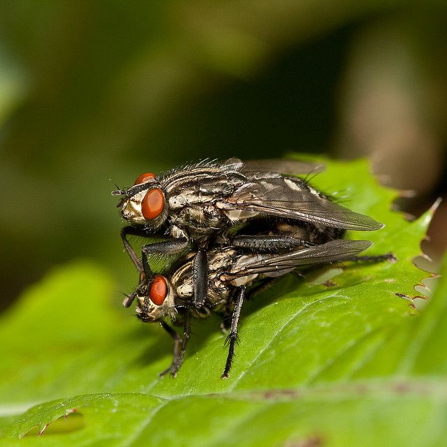 In species of Diptera, fertilisation takes place internally. © Kain Kalju CC by 2.0