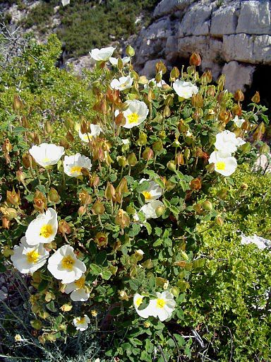 The Montpellier rockrose Cistus monspeliensis is commonly found in calcareous and basic soil. © Jo Boyer CC by-nc-sa 3.0