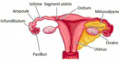 The Fallopian tubes are where fertilisation takes place. DR Credits