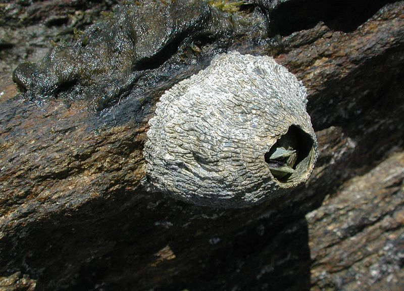 Australian barnacle. © Fritz Geller-Grimm, Flickr CC by sa 2.5