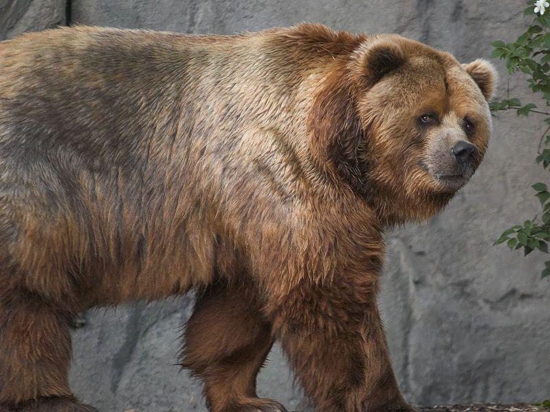 Photo of a Kodiak bear. © S. Taheri, GNU Free Documentation License, version 1.2