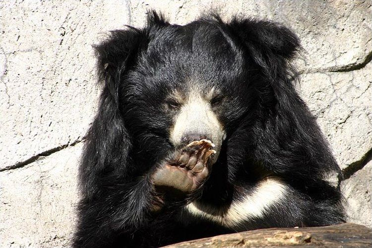 Photo of a sloth bear. © Petra Karstedt, Creative Commons Attribution-Share Alike 2.0 Germany