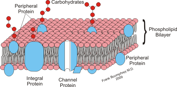Diagram of the plasma membrane. The carbohydrates, glycoproteins and proteoglycans making up the glycocalyx are shown in red. © F. Boumphrey, Wikimedia CC by-sa 3.0