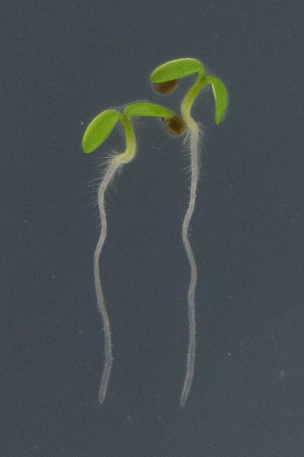 The taproot is visible (in white) in these dicotyledon seedlings. © BlueRidgeKitties CC by-nc-sa 2.0
