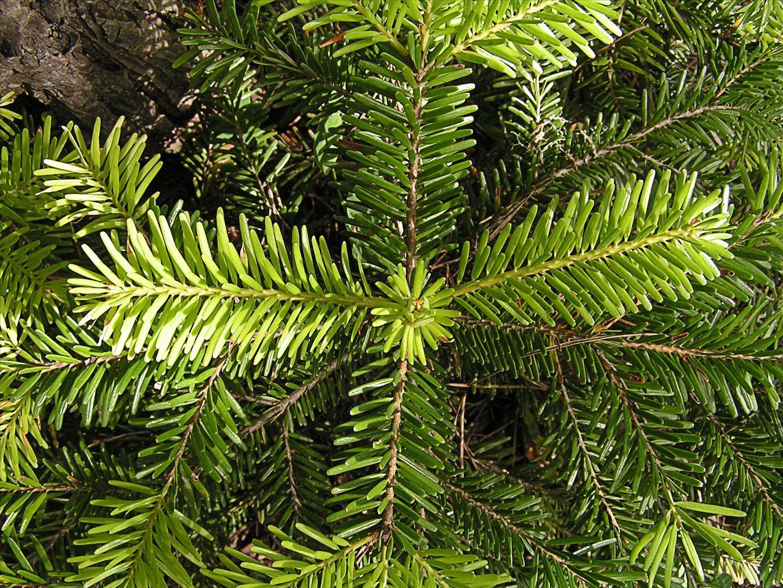 Nordmann fir. © Arthur Chapma, Flickr by-nc-sa 3.0