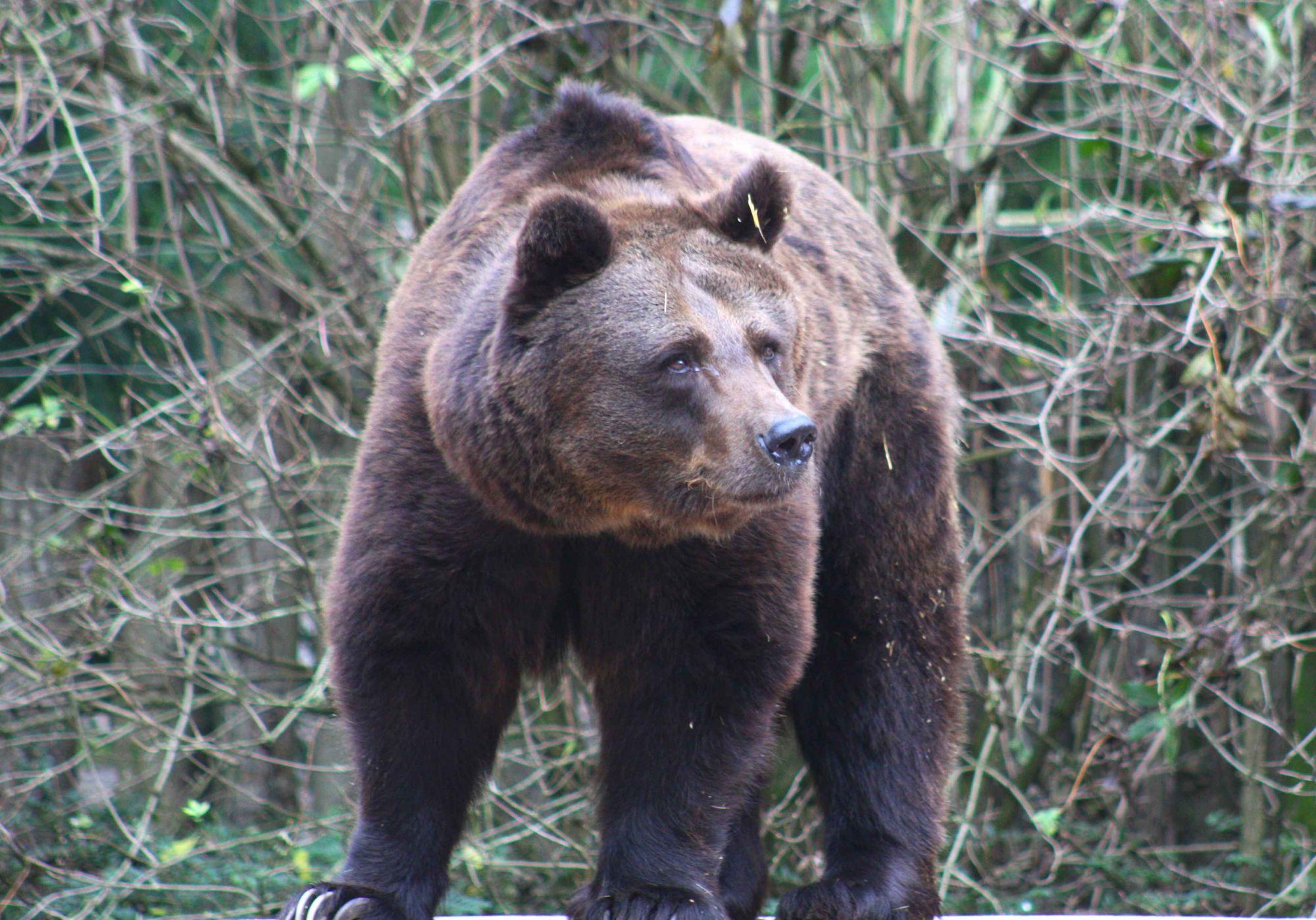 Photo of a European brown bear. © Patrick Straub