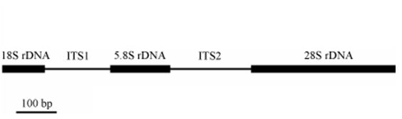 The ribosomal DNA shown here in simplified form contains, amongst others, two ITSs. © DR