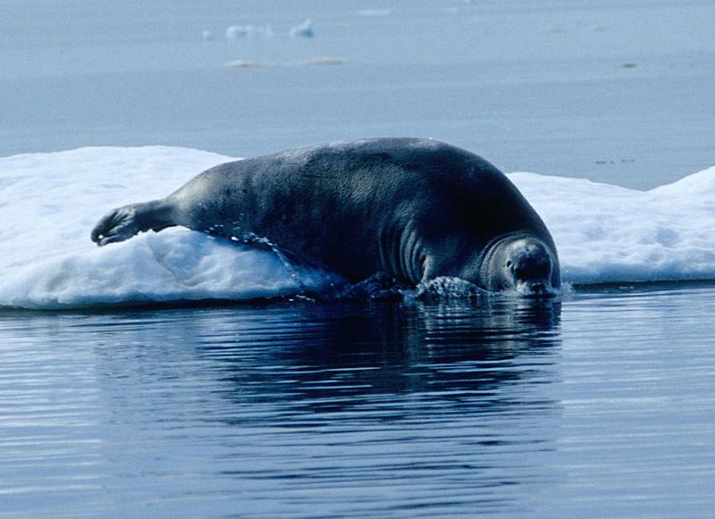 Photo of a bearded seal. © Ansgar Walk, CCA-SA 3.0 Unported license