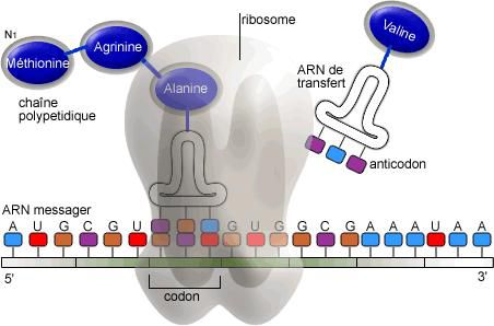 Translation of proteins is a process which takes place in the ribosomes. © Guillaume Bokiau, Wikimedia, Licence GFDL