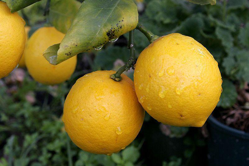 Lemons are very acidic fruit full of vitamin C. © Wikimedia Commons