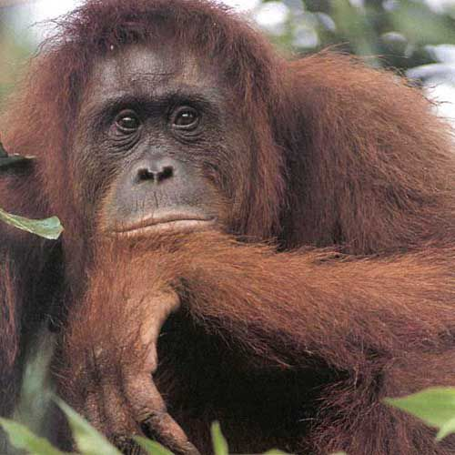 The orang-utan, an endangered great ape. The biodiversity of our planet decreases every second. Credits: DR.