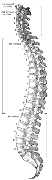 The vertebral column is one of the main parts of the axial skeleton. © Gray''s Anatomy, Wikimedia public domain