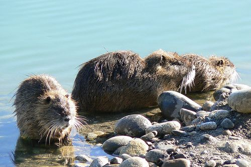 The coypu, imported into Europe for its fur, occupies the beaver's habitats and complicates efforts to reintroduce this protected species. © Jac_31 CC by-nc-nd 2.0